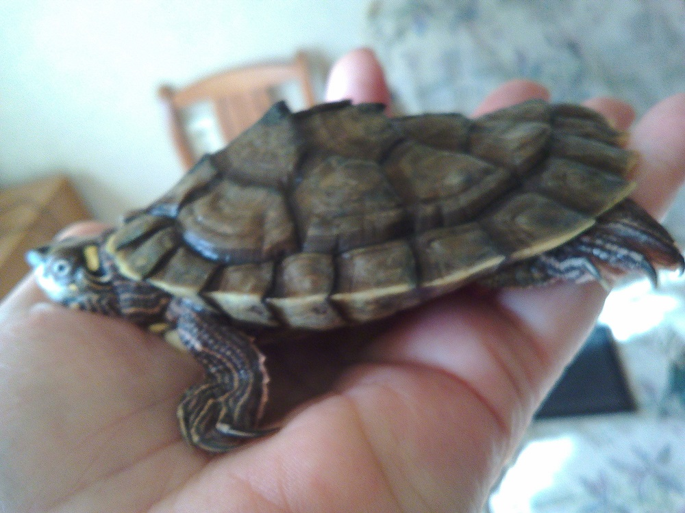 Рахит у красноухих и сухопутных черепах: симптомы, лечение, профилактика