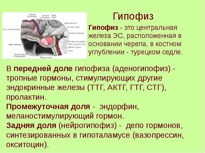 Пименов а.в. тема: «эндокринная система» задачи: изучить строение и функции эндокринной системы задачи: изучить строение и функции эндокринной системы. - презентация