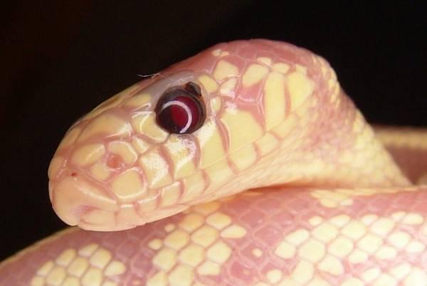Клещи на рептилиях, змее, ящерицах – змеиный клещевой дерматит. чем обработать змею и террариум, чтобы избавиться от паразитов