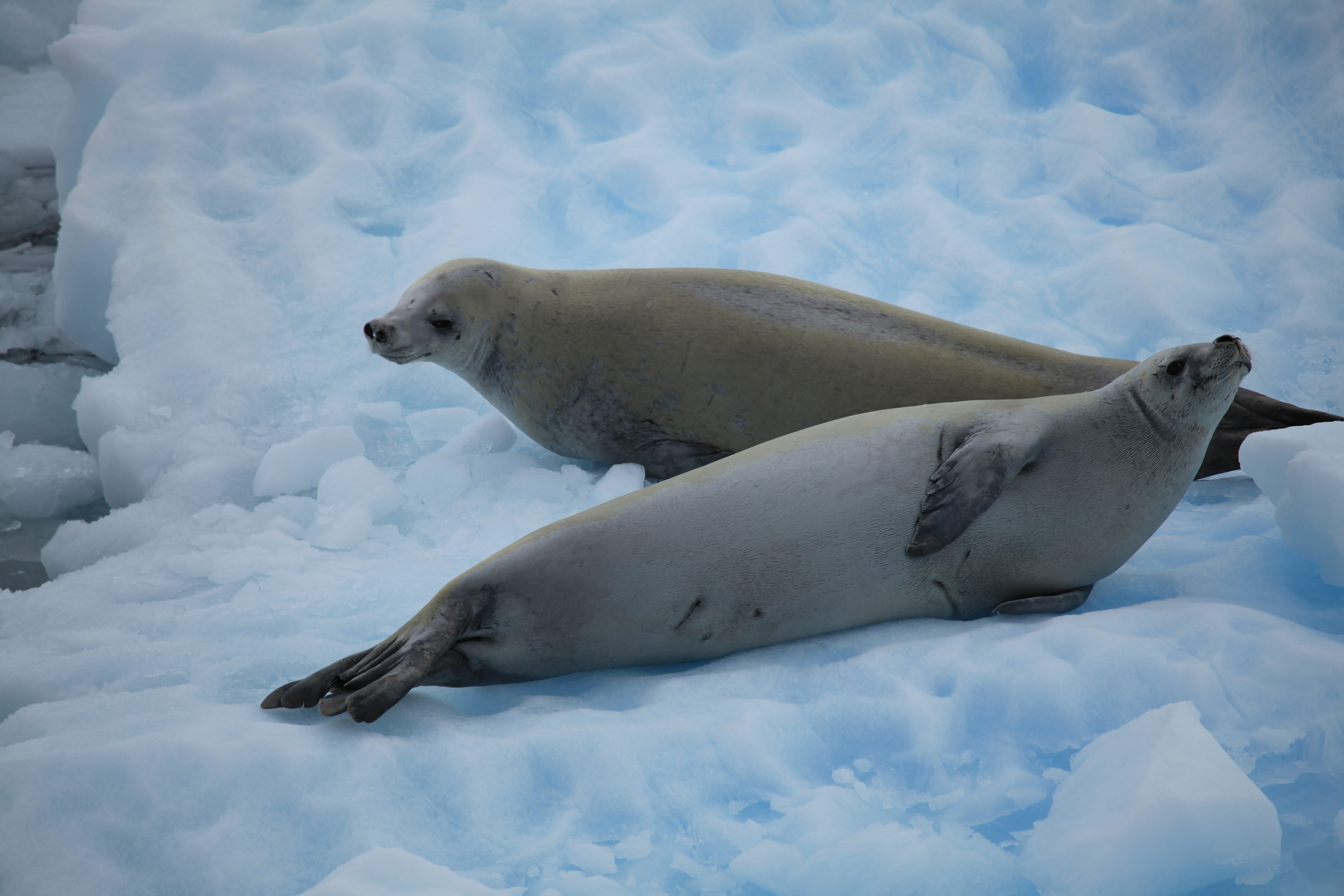 Тюлень-крабоед
