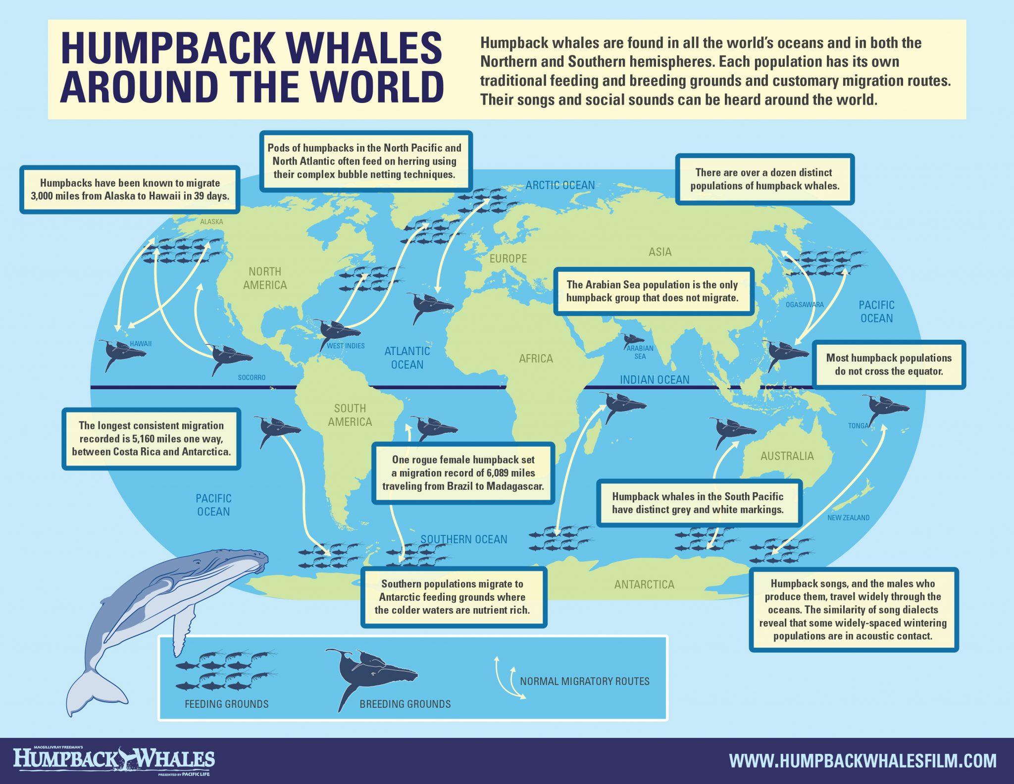 Серый (калифорнийский) кит