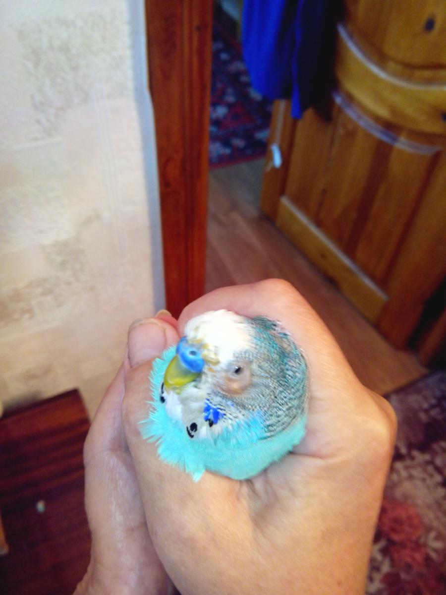 Главные причины из-за чего у волнистого попугая выпадают перья