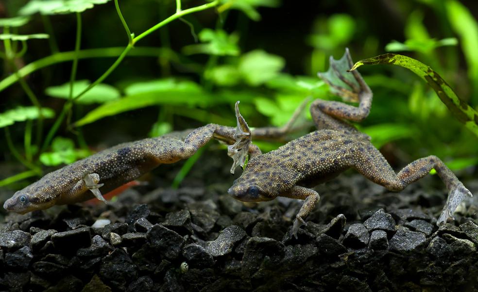 Африканская карликовая лягушка
