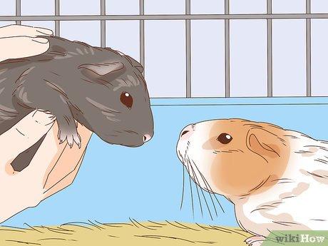 Уход за морской свинкой