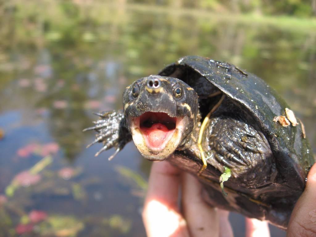 Правила содержания мускусной черепахи