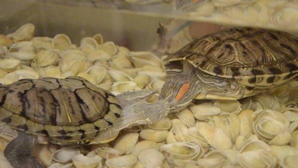 Размножение красноухих черепах – как они это делают?