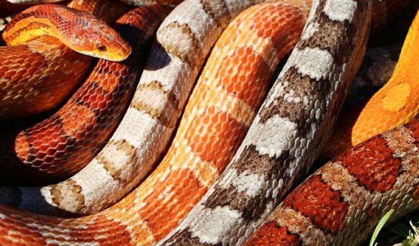 Змея маисовый полоз