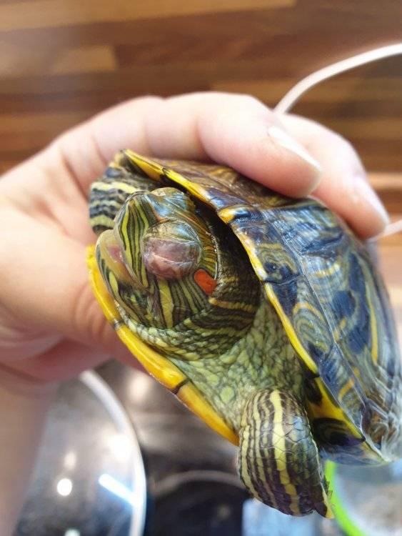 Глисты у черепахи: как и чем лечить