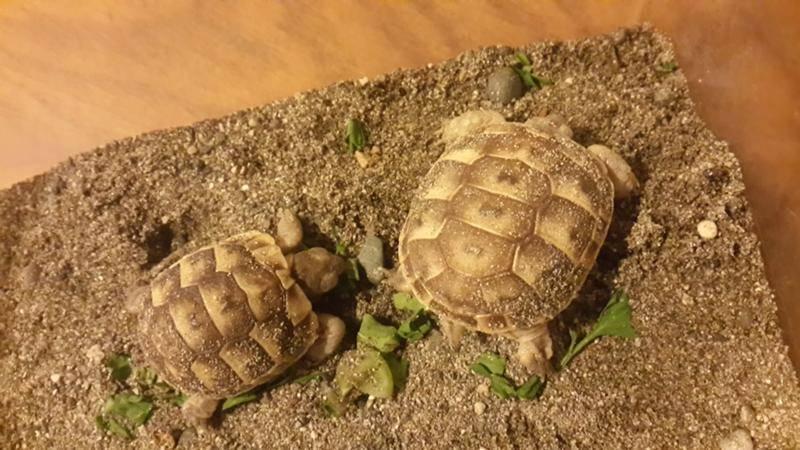 Сухопутная черепаха в домашних условиях - уход и содержание