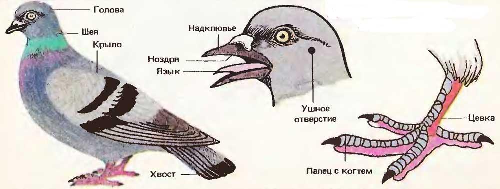 Общая характеристика класса птицы. покровы тела, строение и функции перьев, скелет птиц