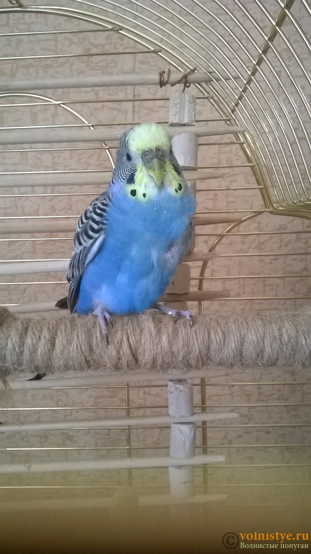 Зоб у волнистого попугая: симптомы воспаления и лечение в домашних условиях