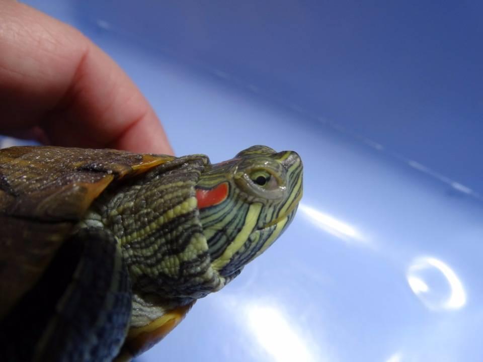 Вызывает ли черепахи аллергию
