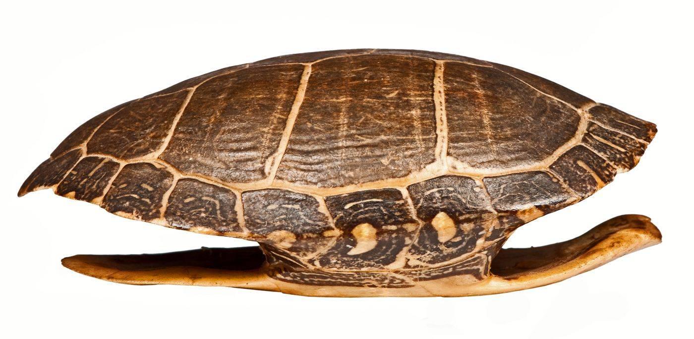 Ч - черепаха,черника - живая азбука