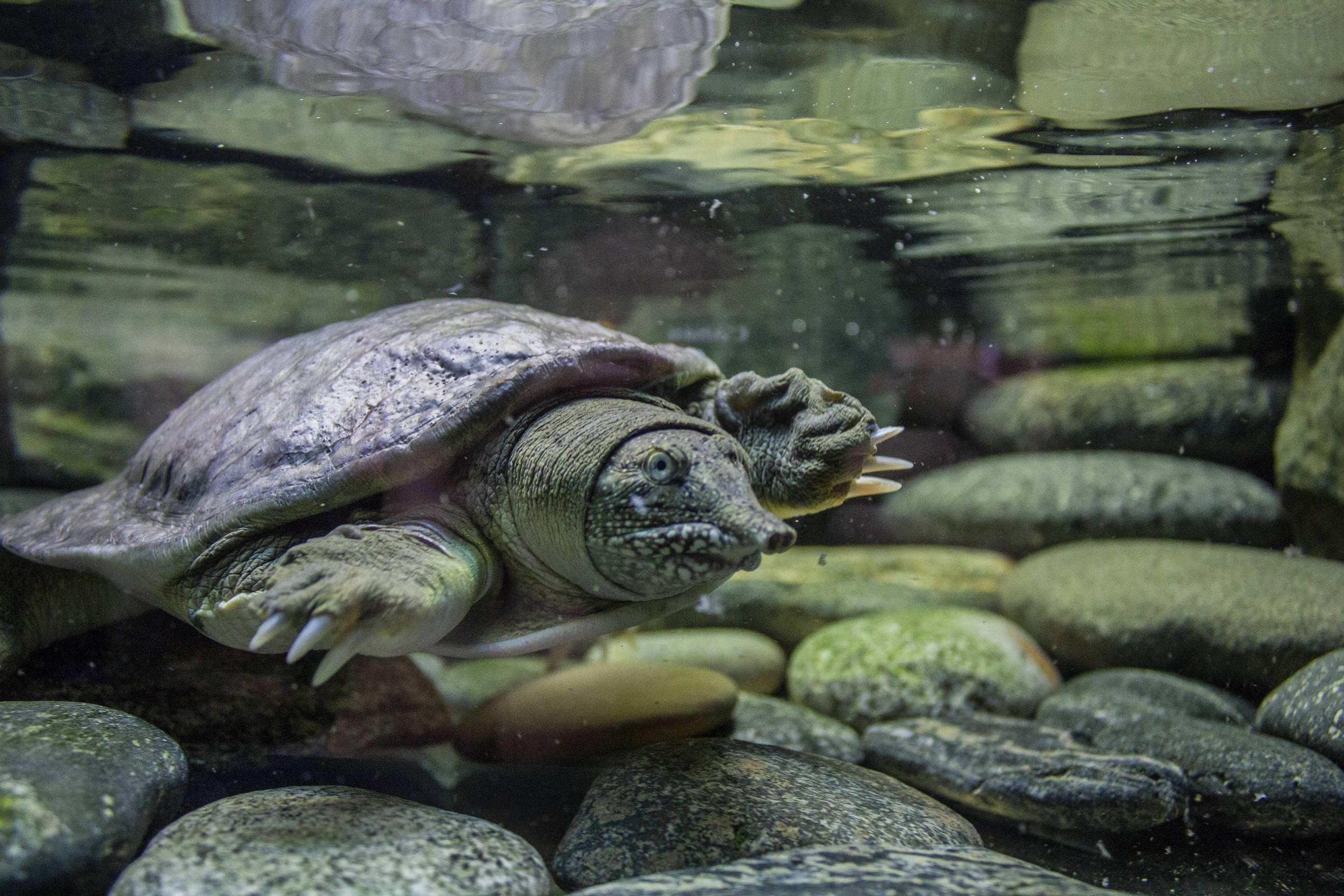 Дальневосточная черепаха — википедия. что такое дальневосточная черепаха