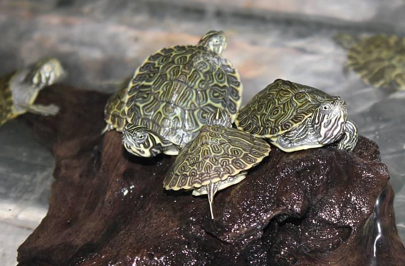Мускусная черепаха: американский друг вашей семьи