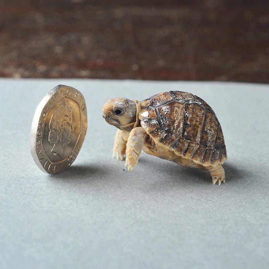 Какие самые маленькие черепахи в мире: мускусная и капская. размеры черепах