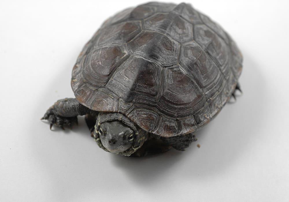 Mauremys sinensis (китайская полосатошеяя черепаха)