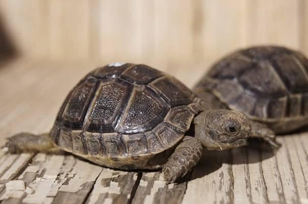 Средиземноморская (кавказская, греческая) черепаха