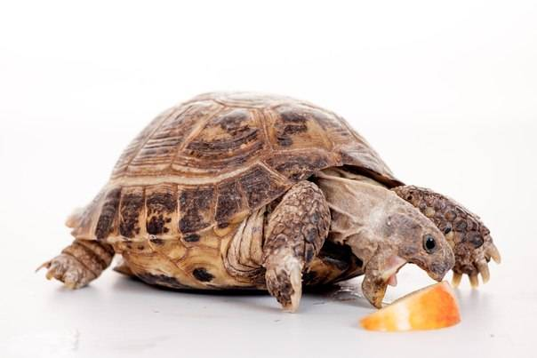 Среднеазиатская (степная) черепаха