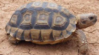 chelonoidis chilensis
