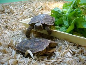 черепаха дома