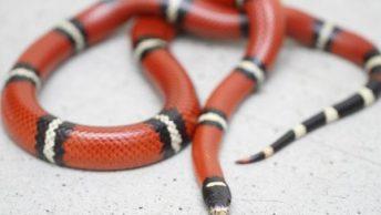 змея кораловая
