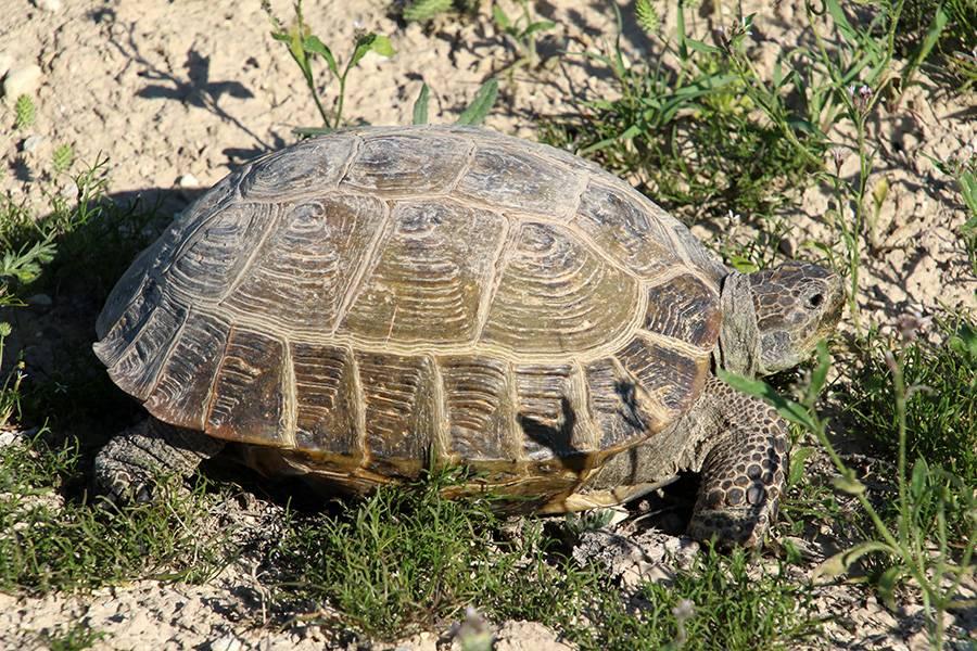 Некоторые аспекты успешного размножения среднеазиатской черепахи agrionemys (testudo) horsfieldii (gray, 1844)