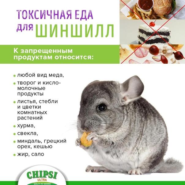3 примера рациона чем можно кормить кормящую шиншиллу