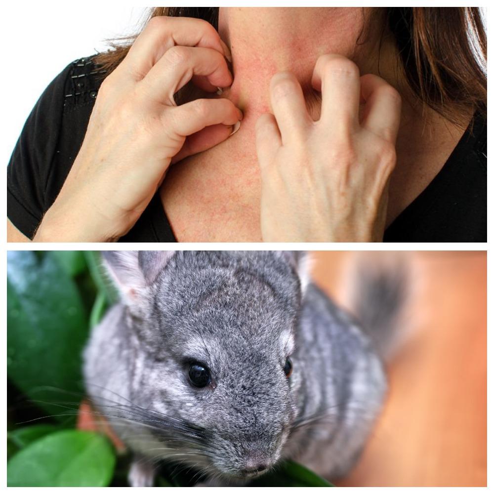 Вызывают ли аллергию шиншиллы: симптомы и методы лечения