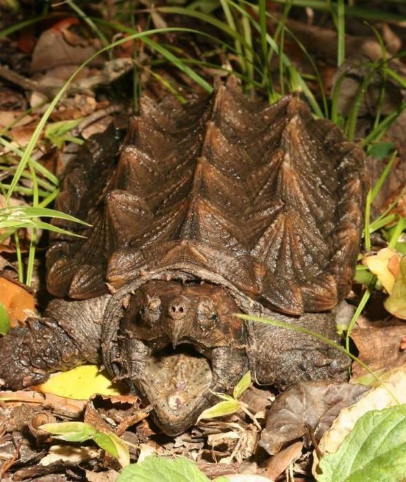 Грифовая черепаха - alligator snapping turtle - qwe.wiki