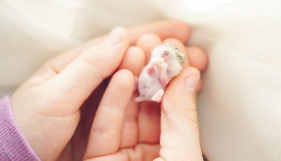 Сколько длится и как протекает беременность у хомяков