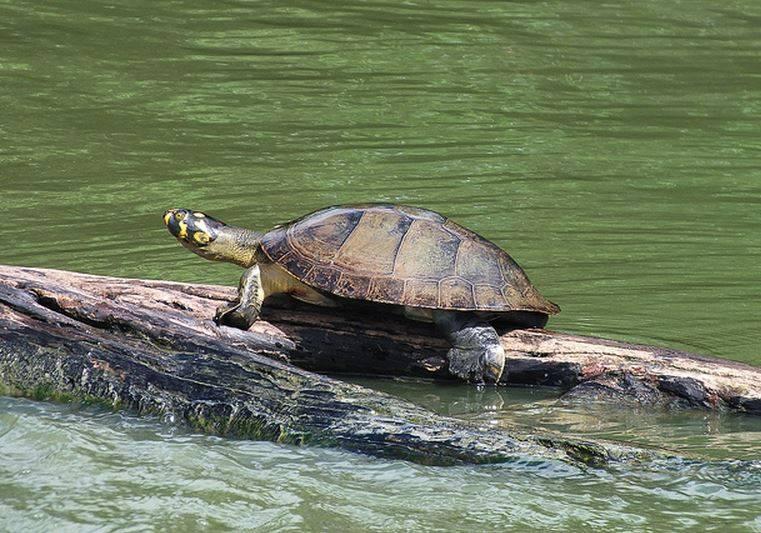 Срубленная берёза на байкальской «черепахе». последствия преступления