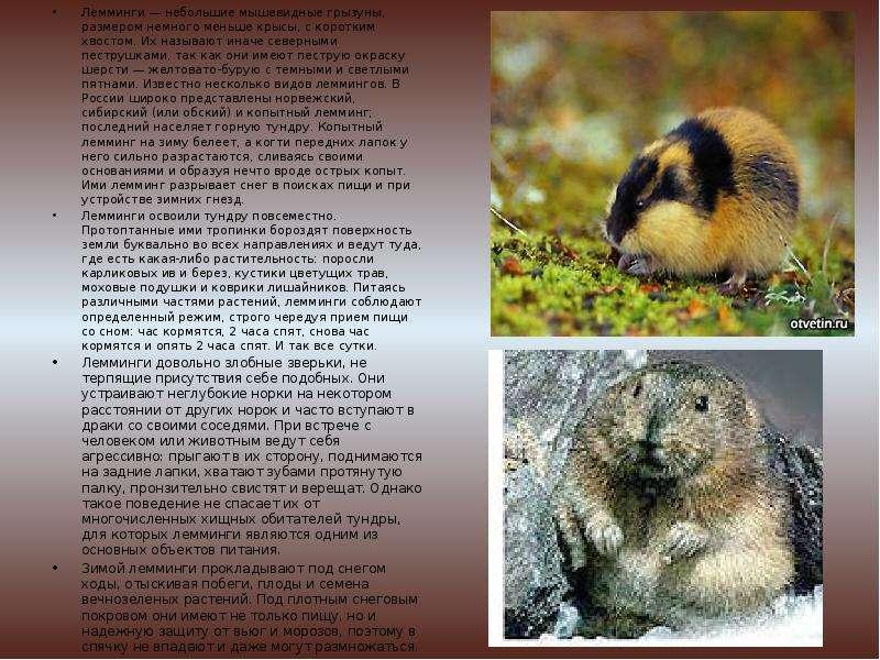 Лемминги: виды, описание, особенности образа жизни и поведения