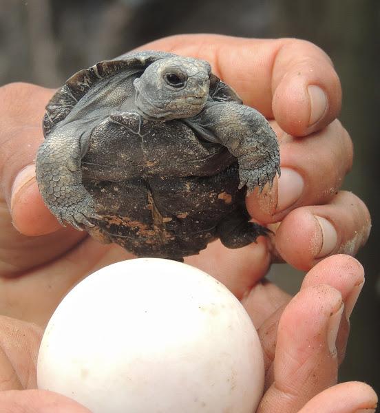 Болотная черепаха | мои домашние питомцы