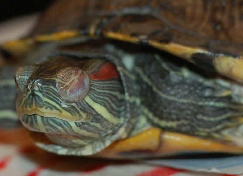 Как лечить конъюнктивит у черепахи в домашних условиях