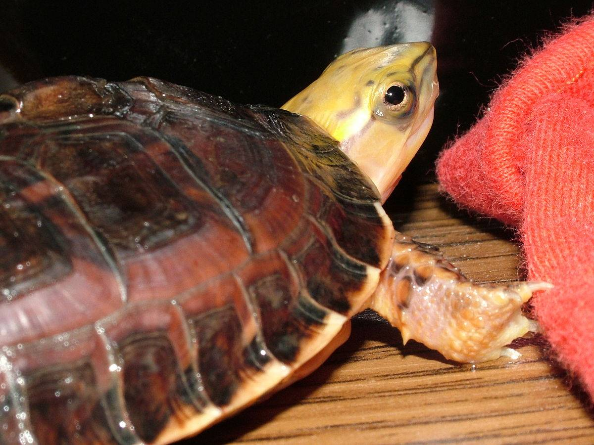 Коробчатая черепаха amboina • ru.knowledgr.com