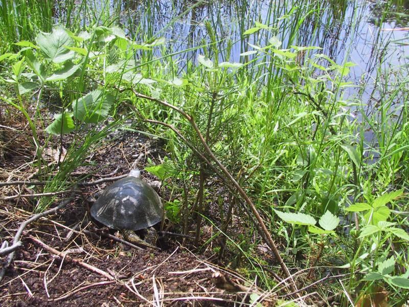 Европейская болотная черепаха – фото, описание, содержание, купить, отзывы