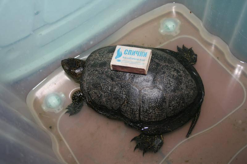 Содержание европейской болотной черепахи в домашних условиях — распишем по пунктам