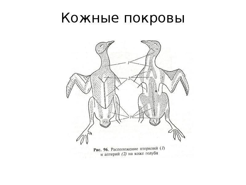 Анатомия красноухой черепахи