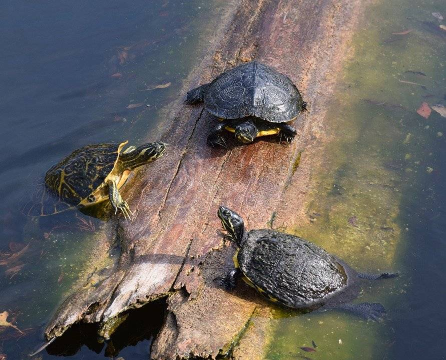 Красноухая черепаха в домашних условиях: содержание от а до я