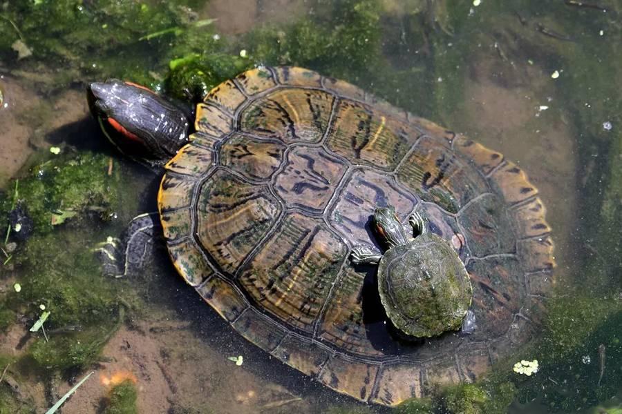Чем питается черепаха в природе и в домашних условиях?
