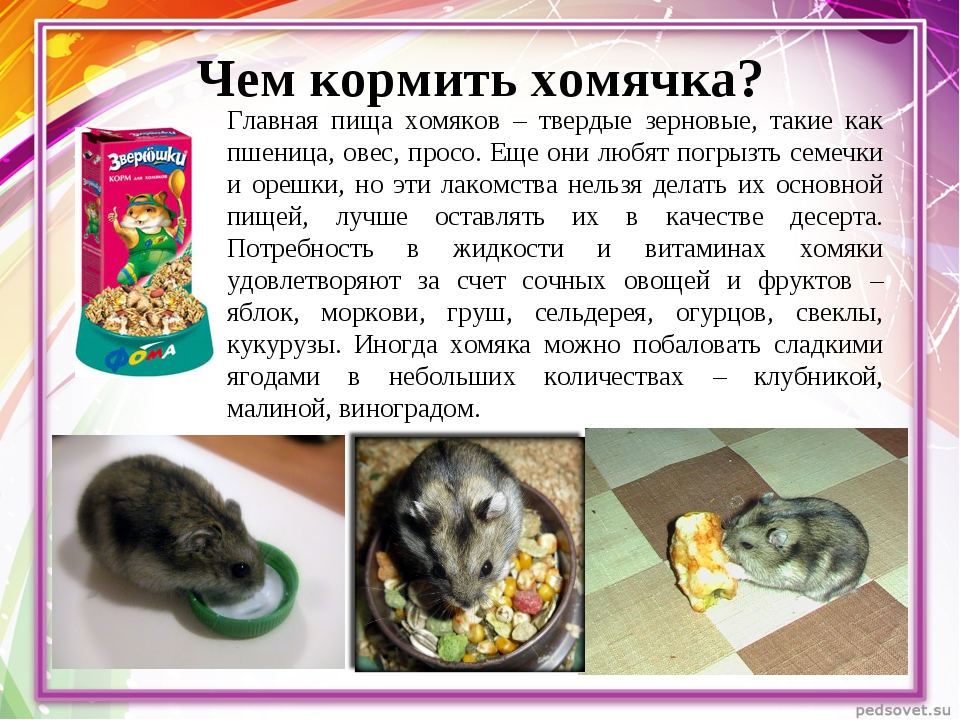Гранат: можно ли давать хомякам?
