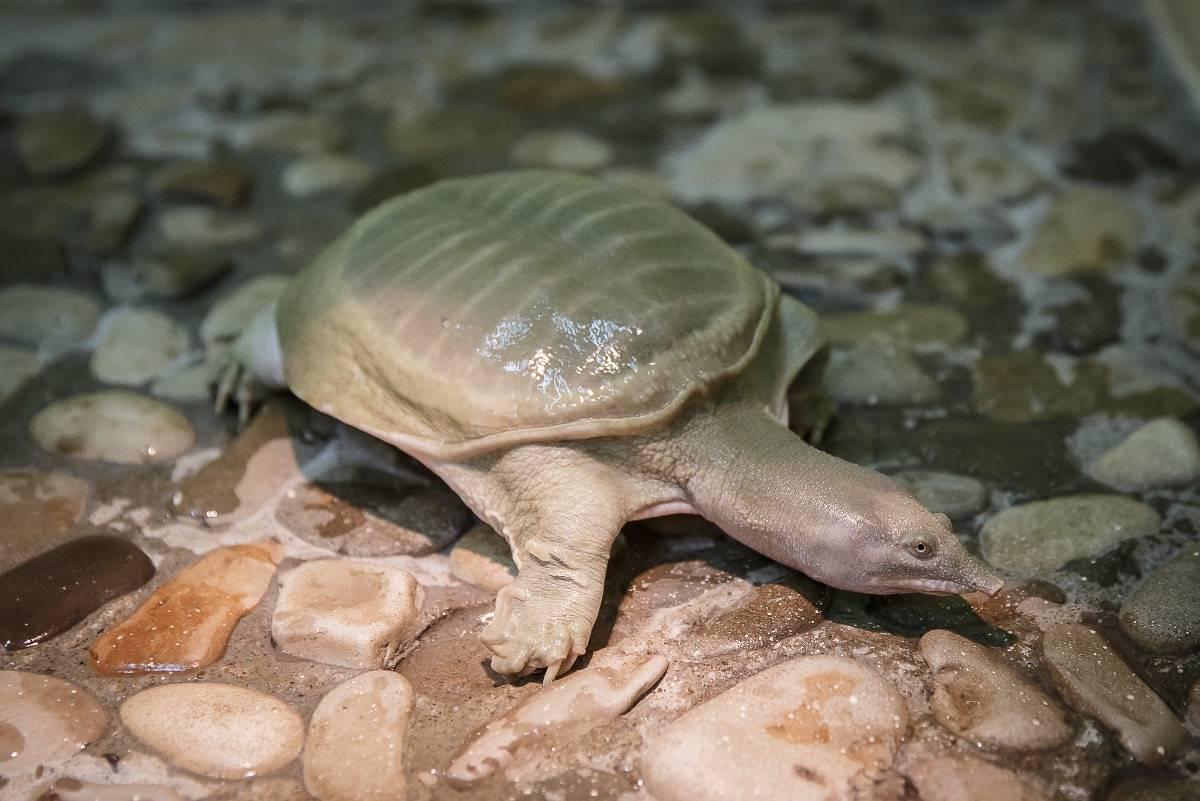 Большая мягкотелая черепаха