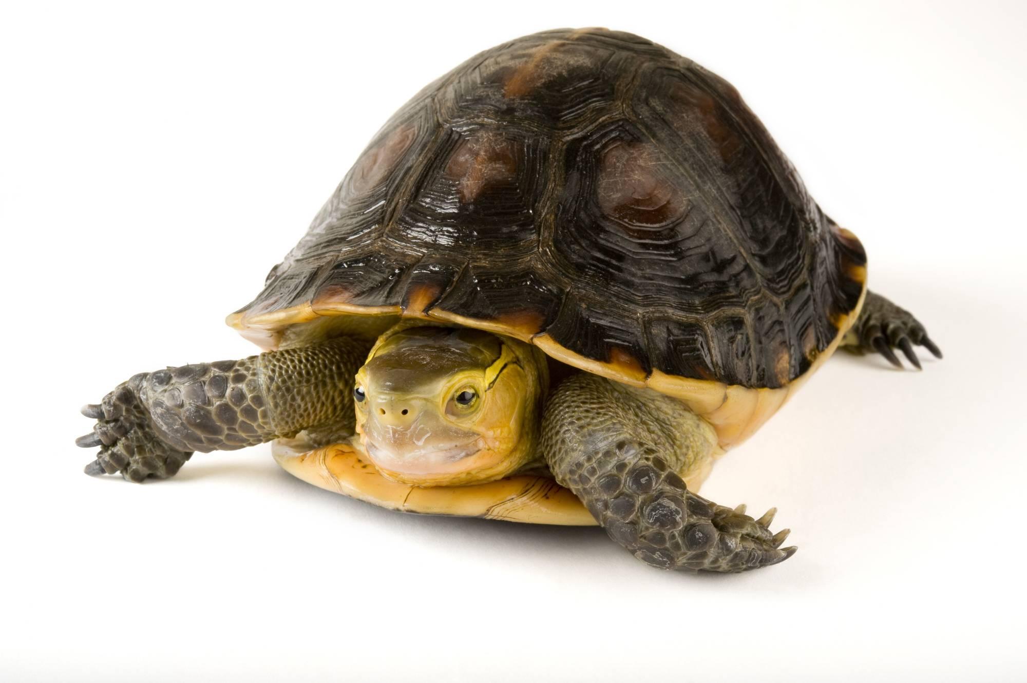 Amboina коробка черепаха - amboina box turtle - qwe.wiki