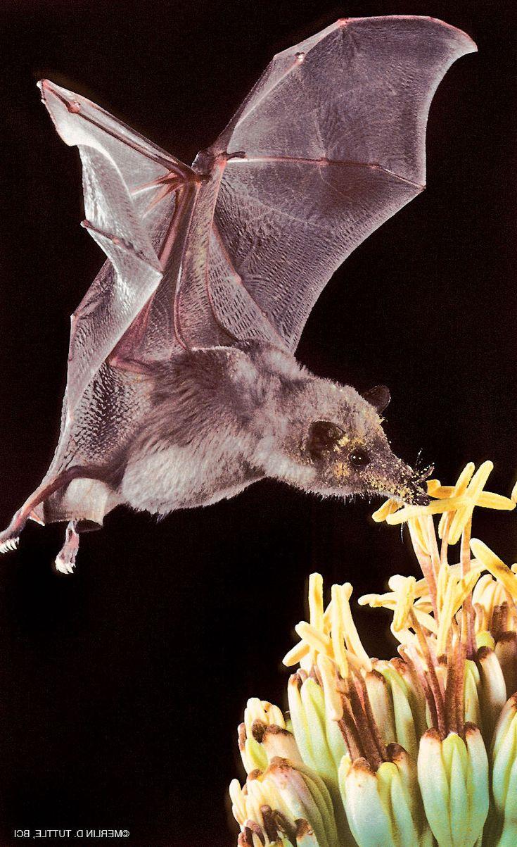 Чем питаются летучие мыши?