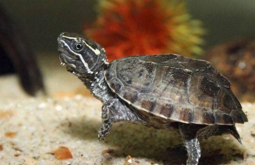 Мускусная черепаха – американский гость в квартире