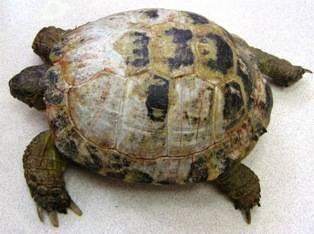 Черепахи дерматит