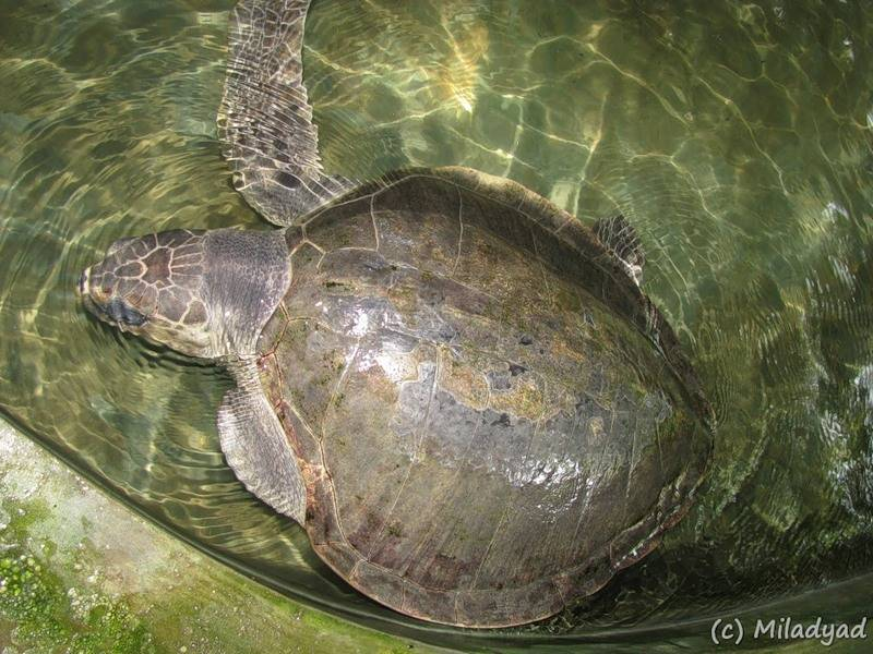 Пляж косгода, шри-ланка. черепаховая ферма, отзывы, пляж на карте, фото — туристер.ру