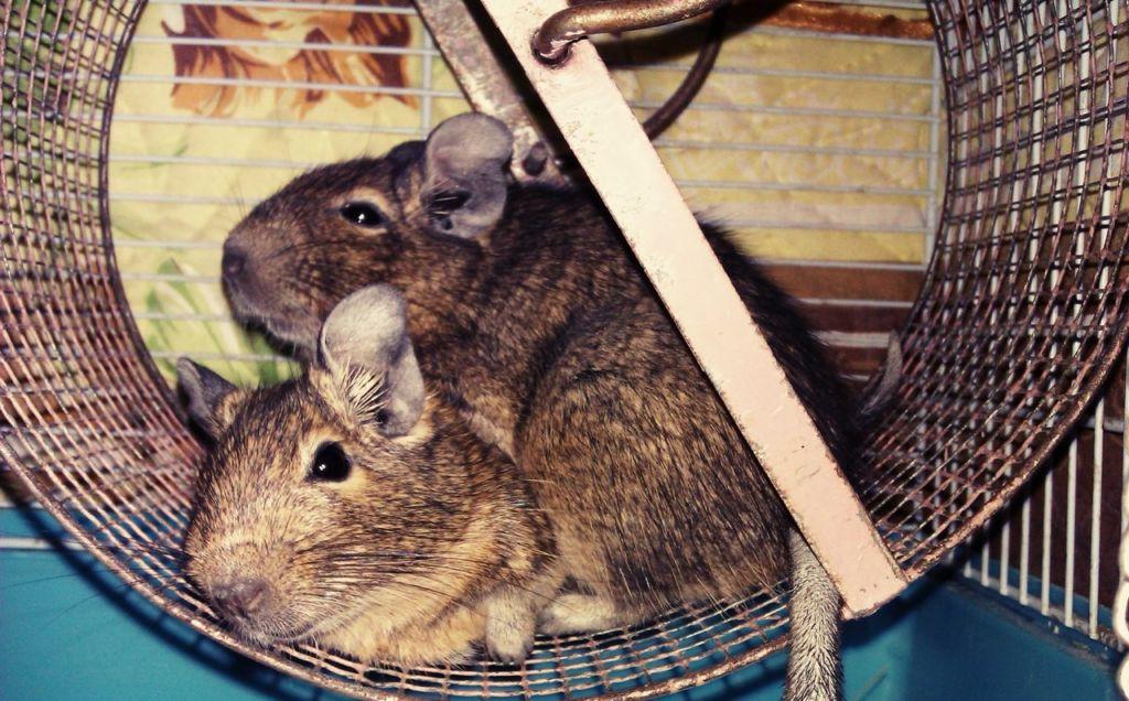 Чилийская белка Дегу – домашняя любимица