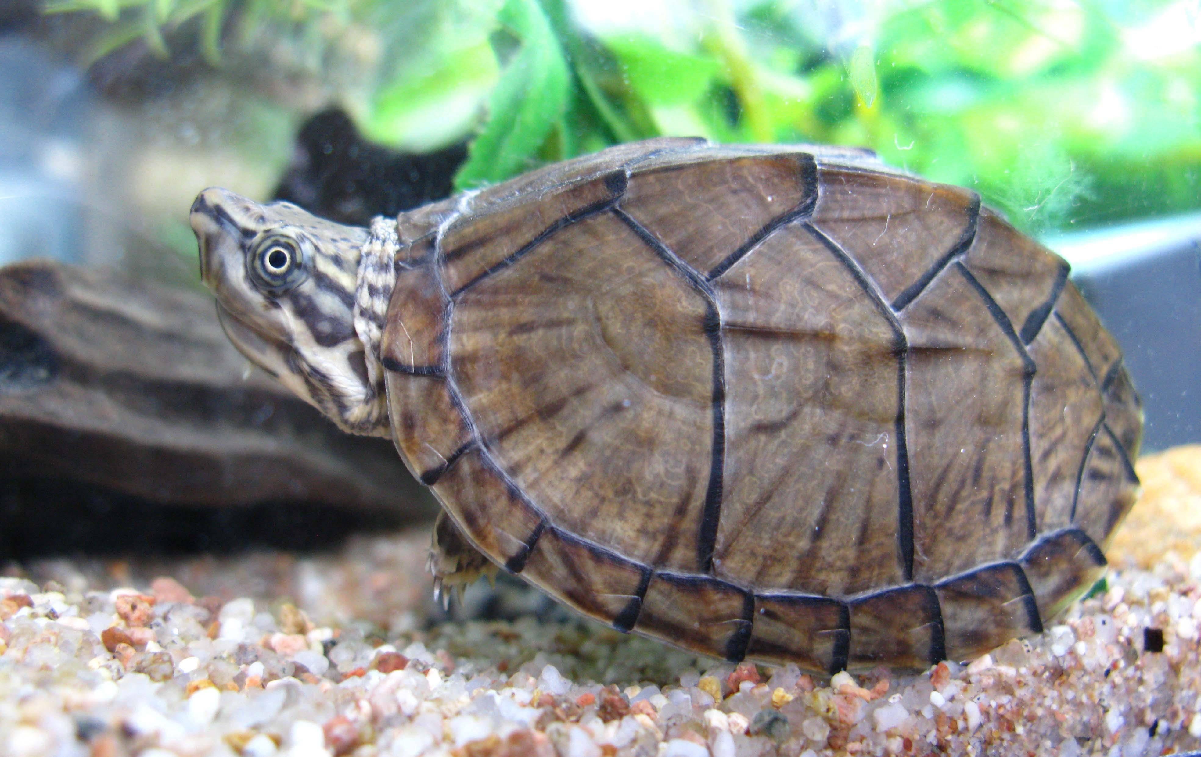 Черепаха мускусная обыкновенная